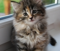 Toxoplasma Tak Selalu dari Kucing