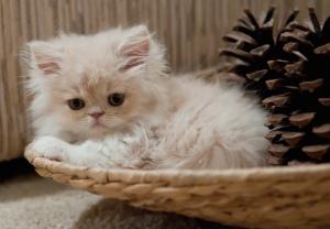 berikanlah pakan khusus kucing yang sudah direkomendasi