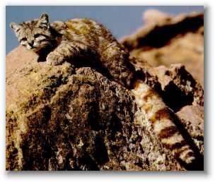 Kucing Langka : Andean Mountain Cat