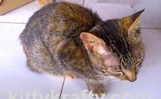 Kucing Rani