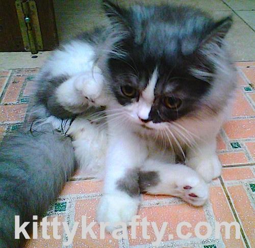Oreo - Kucing Rasya