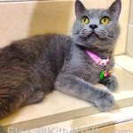 Elsa, The British Shorthair