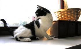 Penanggulangan Kutu Kucing