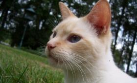 Kelebihan Pendengaran Kucing